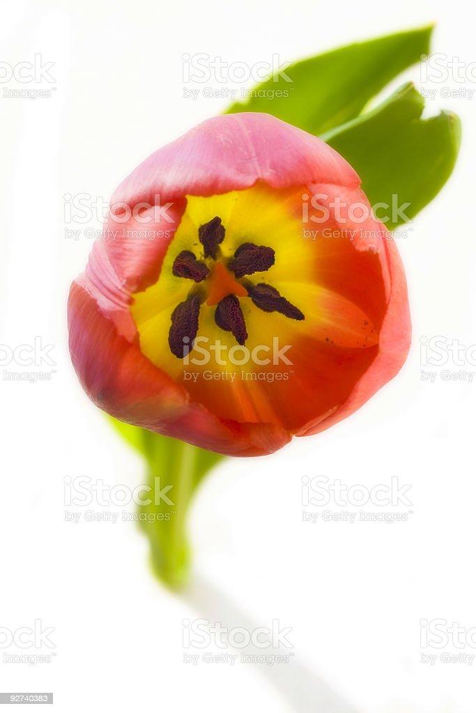 Tulpe auf Weiß Lizenzfreies stock-foto