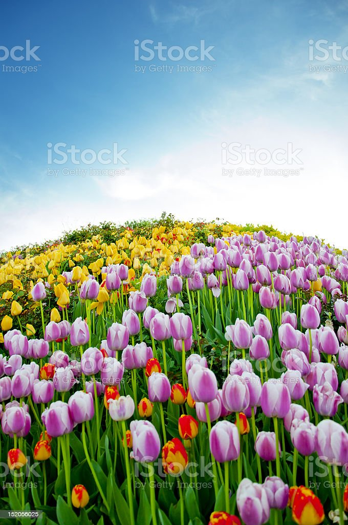 Tulip Paradise stock photo