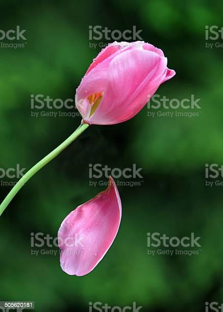 Tulip petal falling picture id505620181?b=1&k=6&m=505620181&s=612x612&h=awfp1baz 1taiqokernjtjph2t34chvxg7ltqtouqvg=