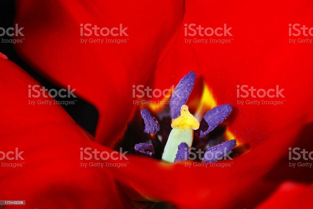 Tulip petals, Very shallow DOF royalty-free stock photo