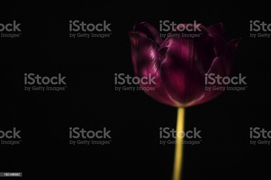 Tulipán foto de stock libre de derechos