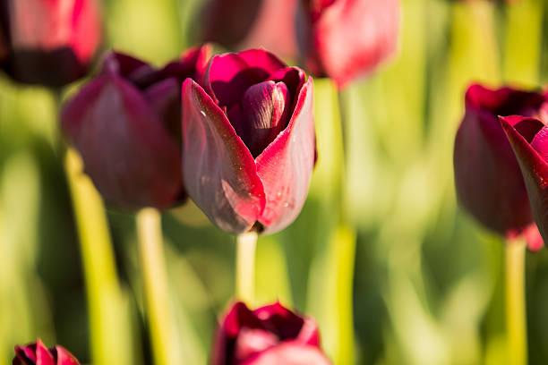 Tulpe – Foto
