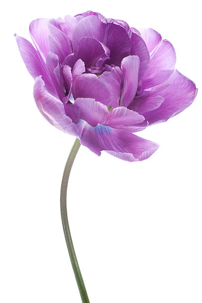 tulip Studio Shot of Purple Colored Tulip Flower Isolated on White Background. Large Depth of Field (DOF). Macro. National Flower of The Netherlands, Turkey and Hungary. single flower stock pictures, royalty-free photos & images