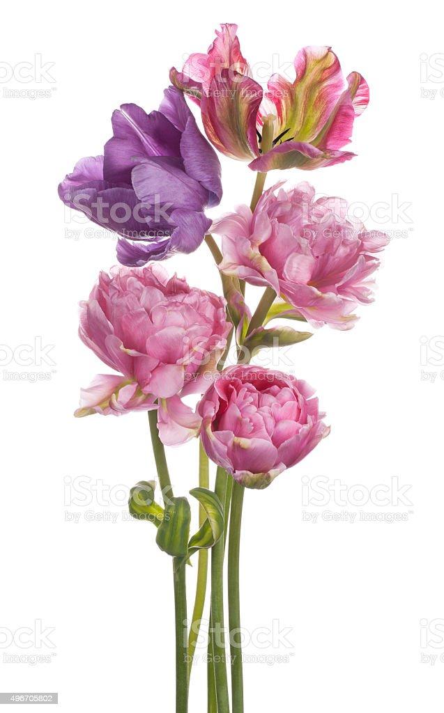 Tulipe - Photo