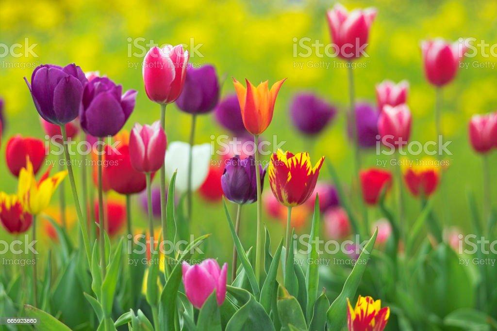 Tulip foto stock royalty-free