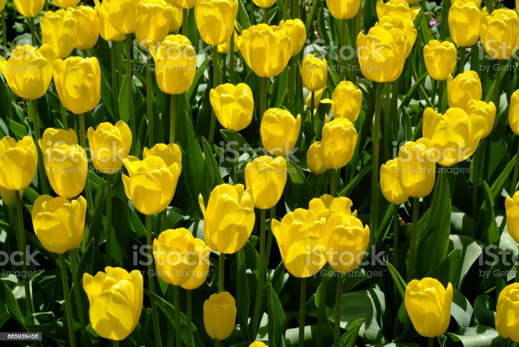 Tulip foto stock royalty-free