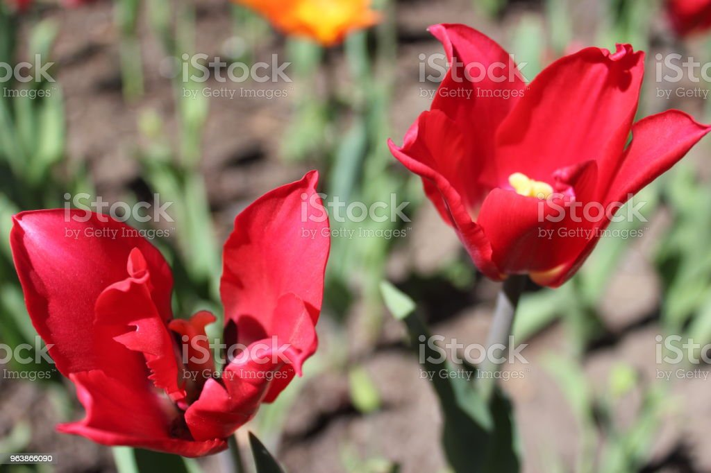 Tulip - Royalty-free Beauty In Nature Stock Photo