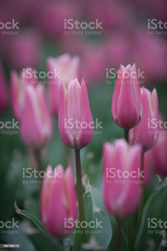 Tulip - Royalty-free China - Oost-Azië Stockfoto