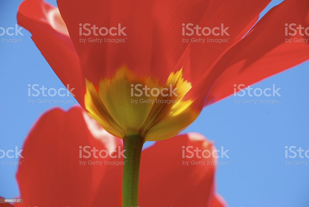 Tulip  (red-yellow-blue) royalty-free stock photo