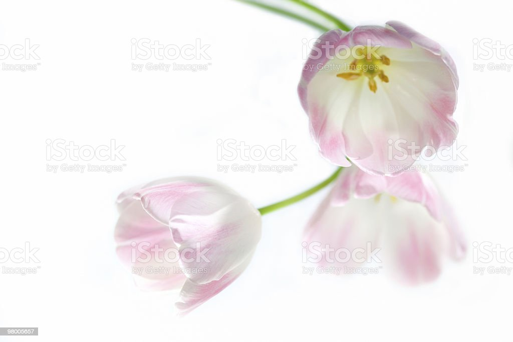 tulip royalty free stockfoto