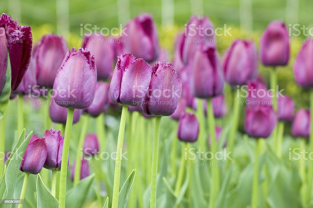 tulip royalty-free stock photo
