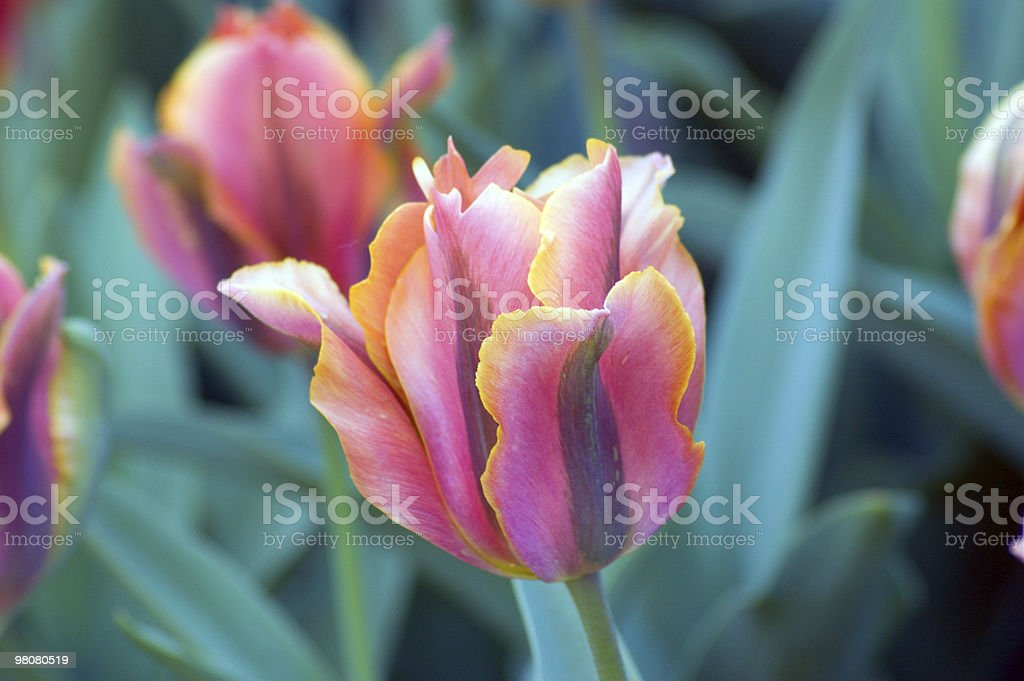 Tulipano foto stock royalty-free