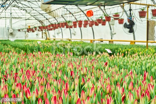 many beautiful tulips ripen in the interior of the greenhouse