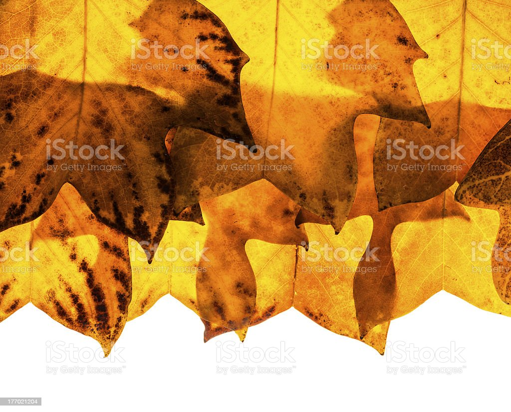 Tulip poplar tree leaves background royalty-free stock photo