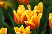 Tulip Princess Irene. A pleasant color combination of orange and yellow. The official residence of Shilin in Taipei, Taiwan. March 2020.