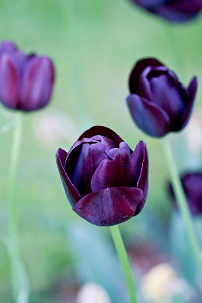 Tulip 'Queen of The Night' stock photo