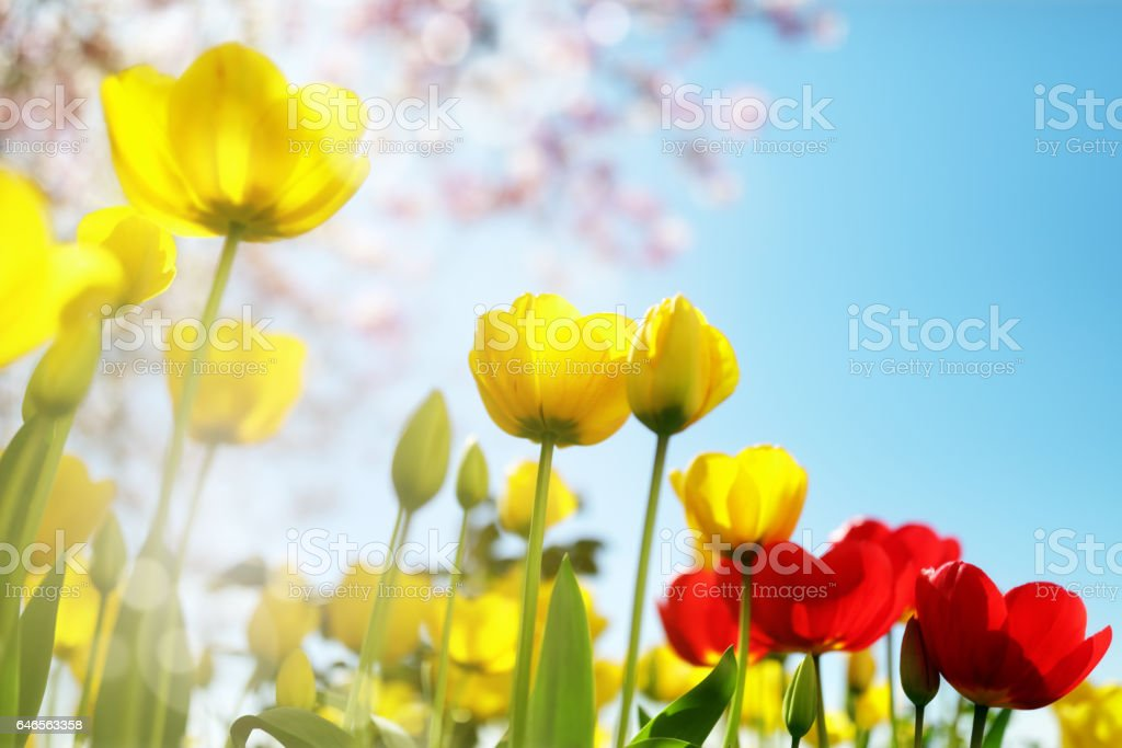 Tulip spring flowers stock photo