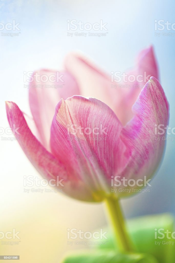 tulip spring royalty-free stock photo