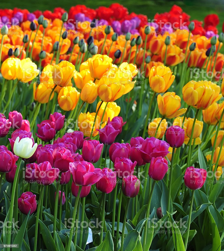 Tulip Spring-flowers royalty-free stock photo