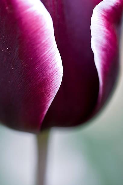 Tulip 'Synaeda Blue' stock photo