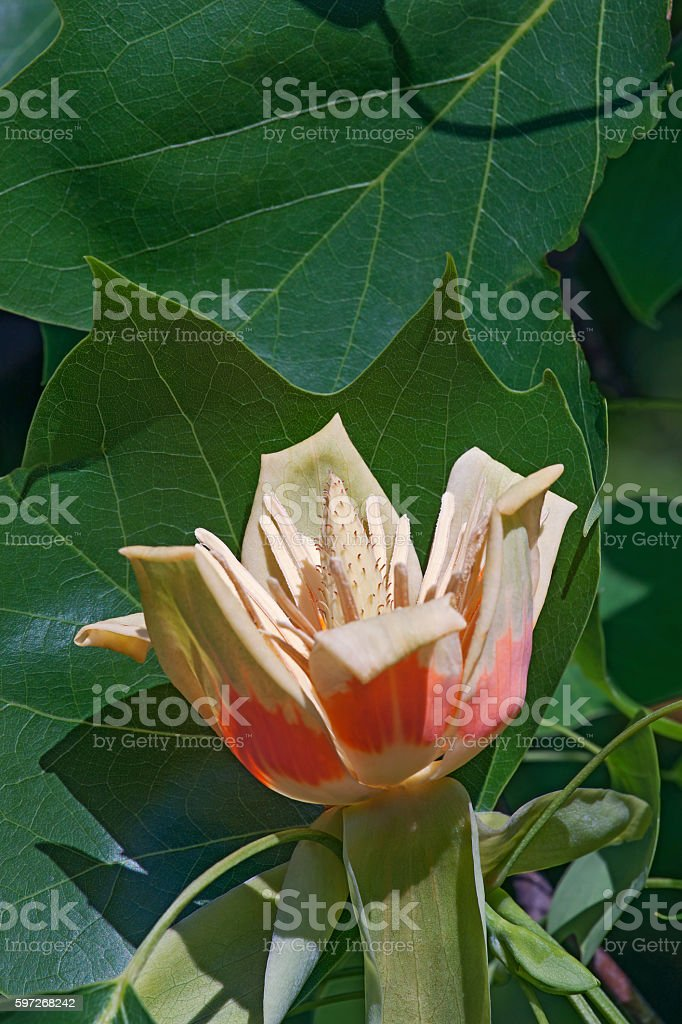 Tulip tree flower royalty-free stock photo