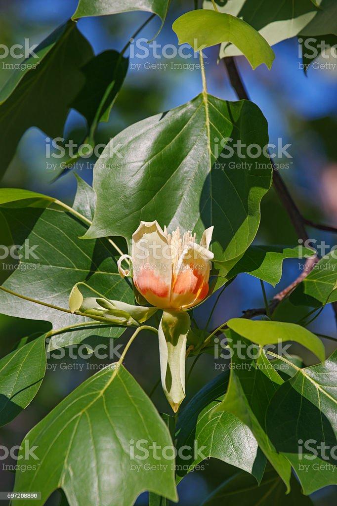 Tulip tree flower  Lizenzfreies stock-foto