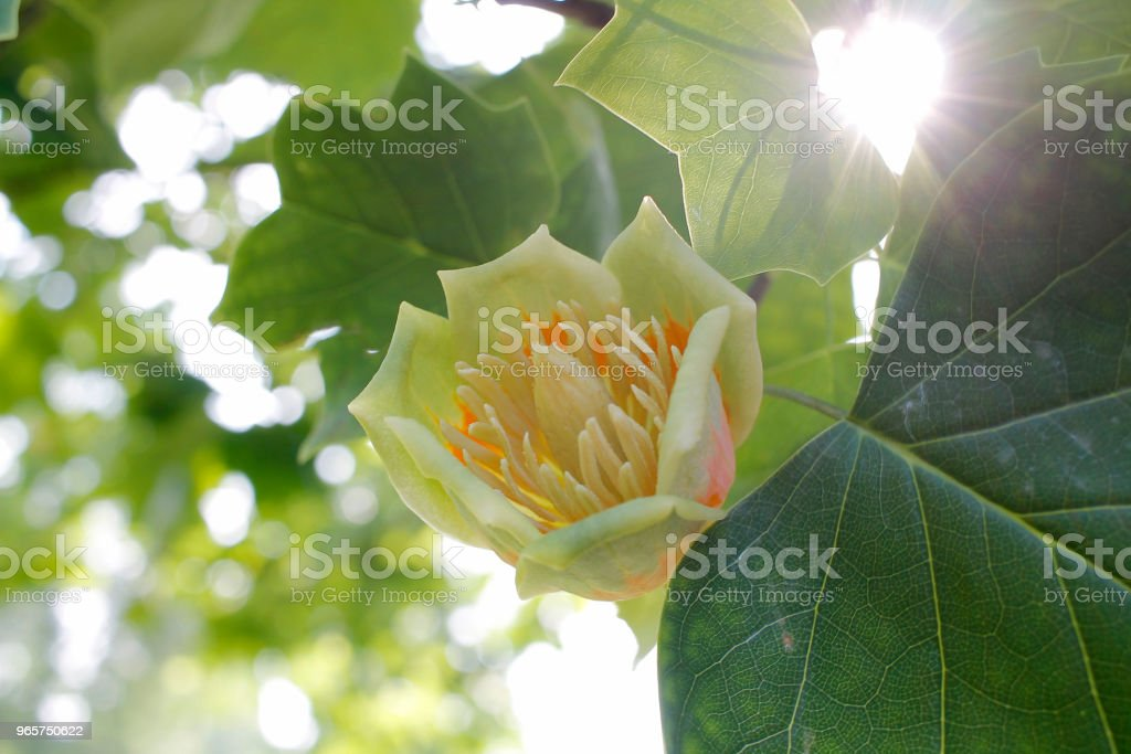 Tulip tree flower - Royalty-free Blossom Stock Photo