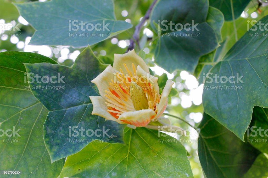 Цветок тюльпанового дерева - Стоковые фото Без людей роялти-фри