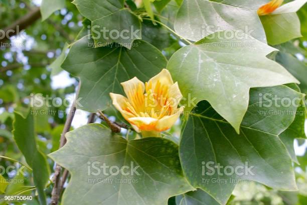 Tulip Tree Flower - Fotografias de stock e mais imagens de Amarelo