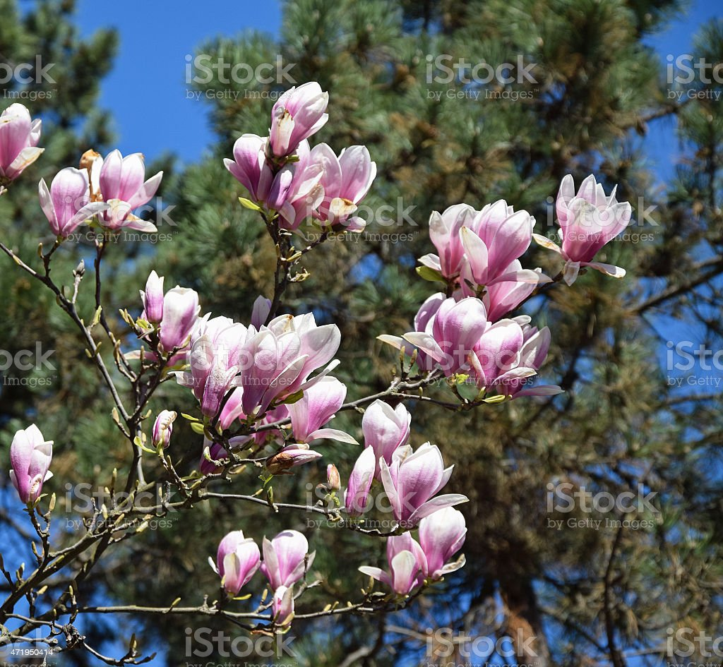 Tulip tree flowers and pine tree leaves stock photo more pictures tulip tree flowers and pine tree leaves royalty free stock photo mightylinksfo