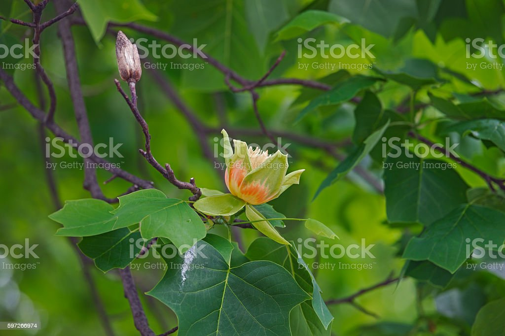 Tulip tree flowers royalty-free stock photo