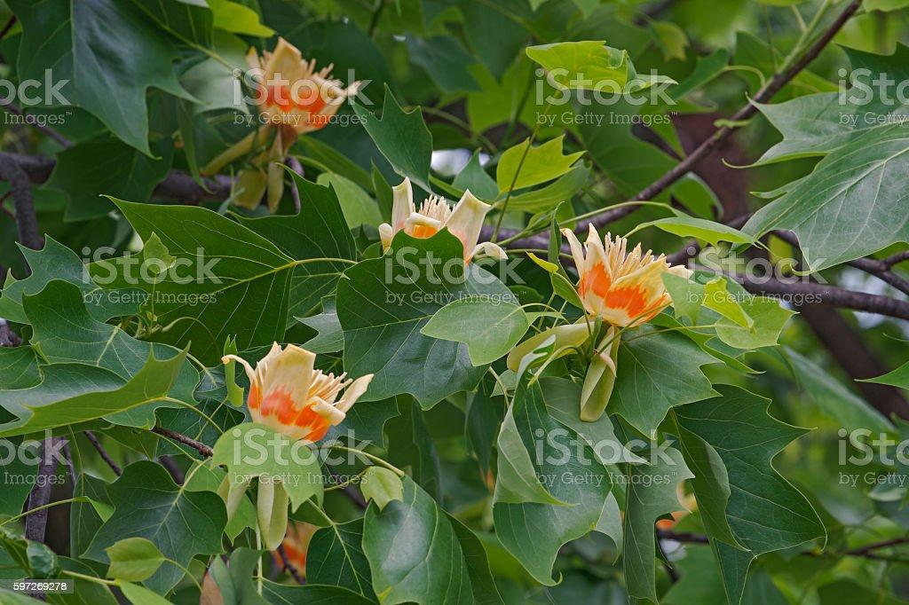 Tulpenbaum Blumen  Lizenzfreies stock-foto