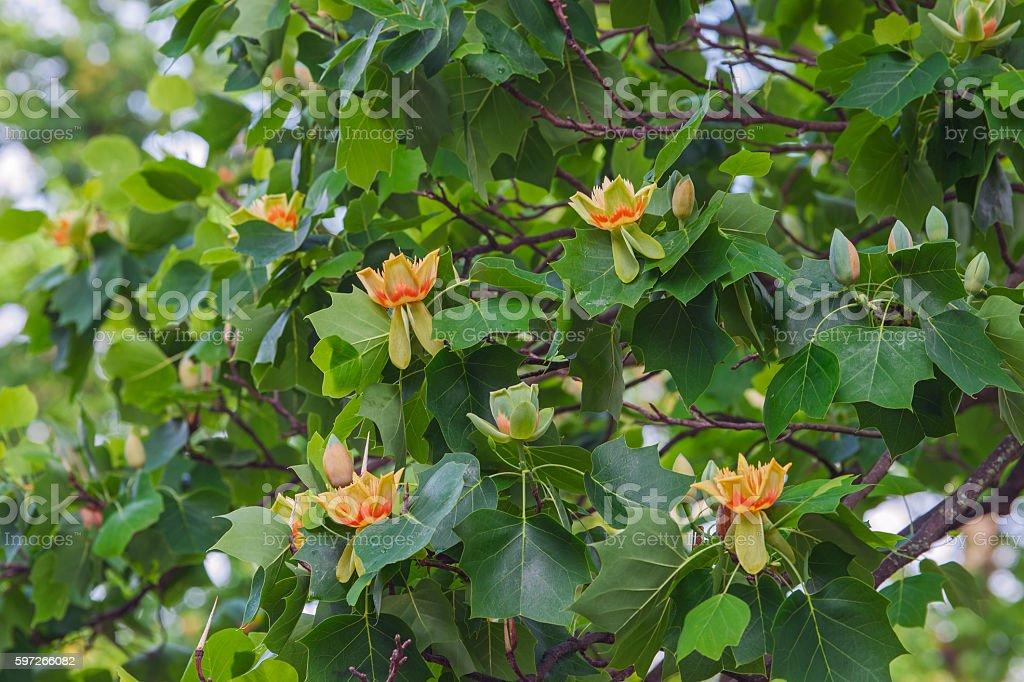 Tulpenbaum in blossom Lizenzfreies stock-foto