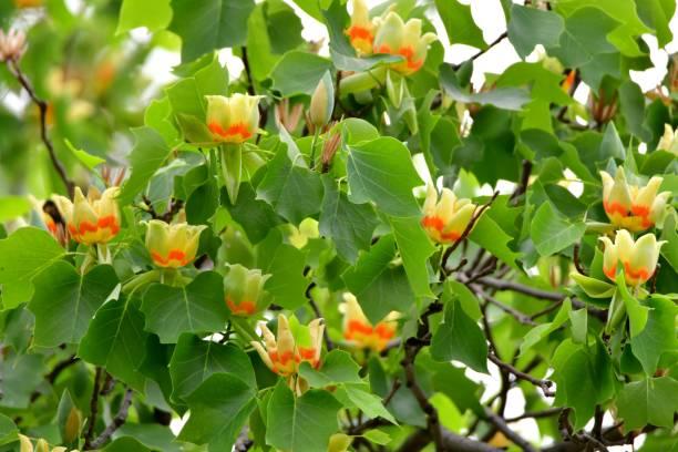 Tulpenbaum / Liriodendron Tulpe Blumen – Foto