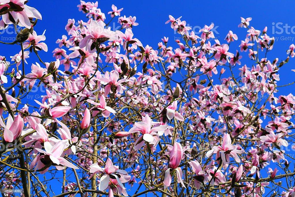 Tulip tree (Magnolia soulangeana) pink flower stock photo