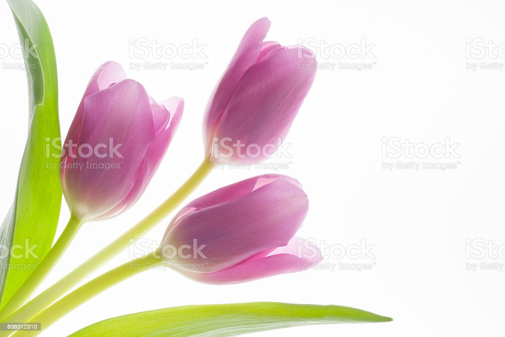 Tulip Trio stock photo
