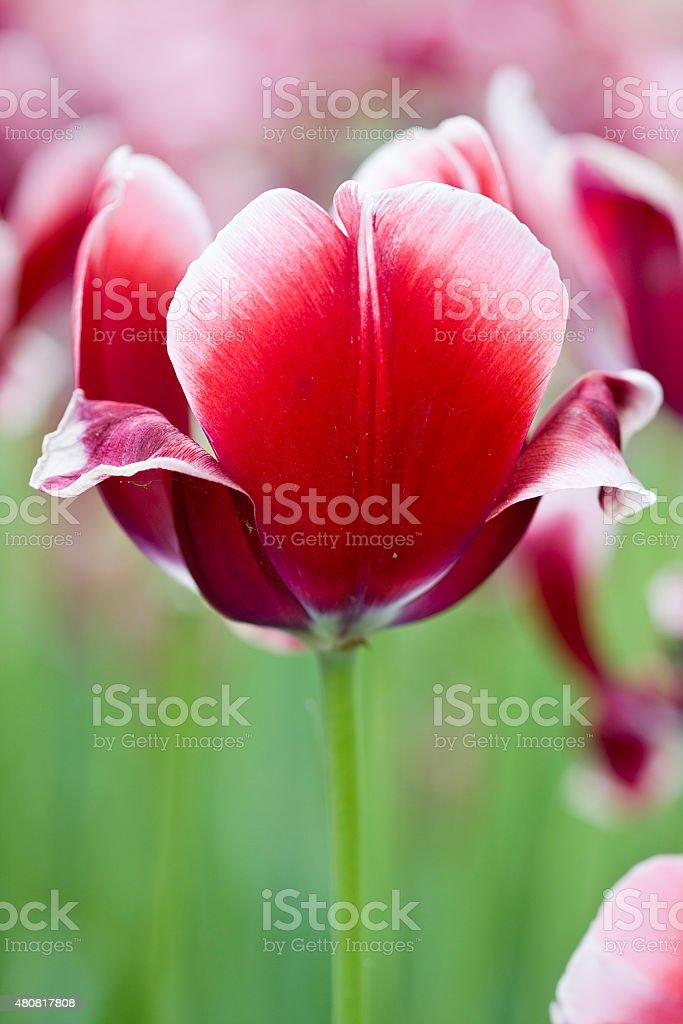 Tulip Wirosa stock photo