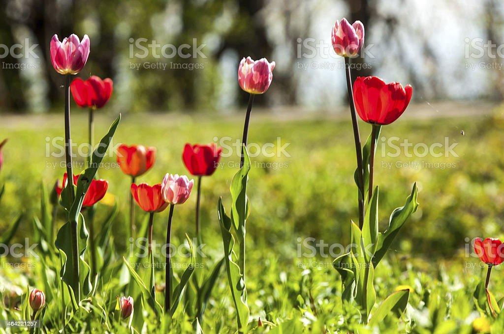 tulip with bokeh. royalty-free stock photo