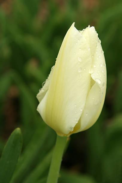 Tulip with raindrops stock photo