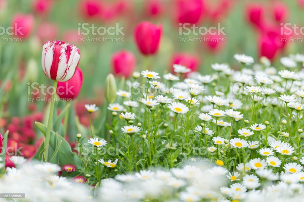 Tulip With Red And White Stripes With Red Tulips And White Small