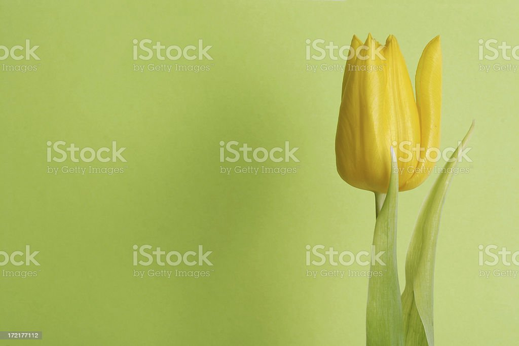 tulip with room to spare (green) royalty-free stock photo