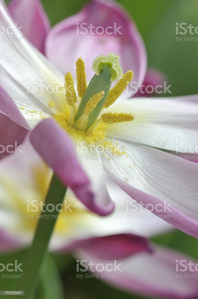 Tulip with Stamen Out royalty-free stock photo