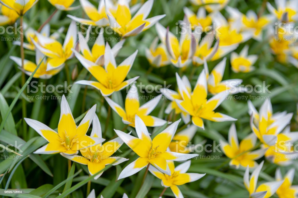 Tulipa Tarda (late tulip or tarda tulip) with inflorescence of yellow flowers in full bloom growing in a botanic garden stock photo