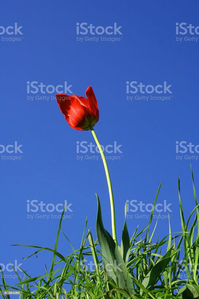 Tulipan royalty-free stock photo