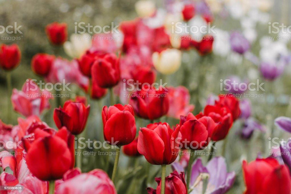 Tulipanes Rojos - foto de stock