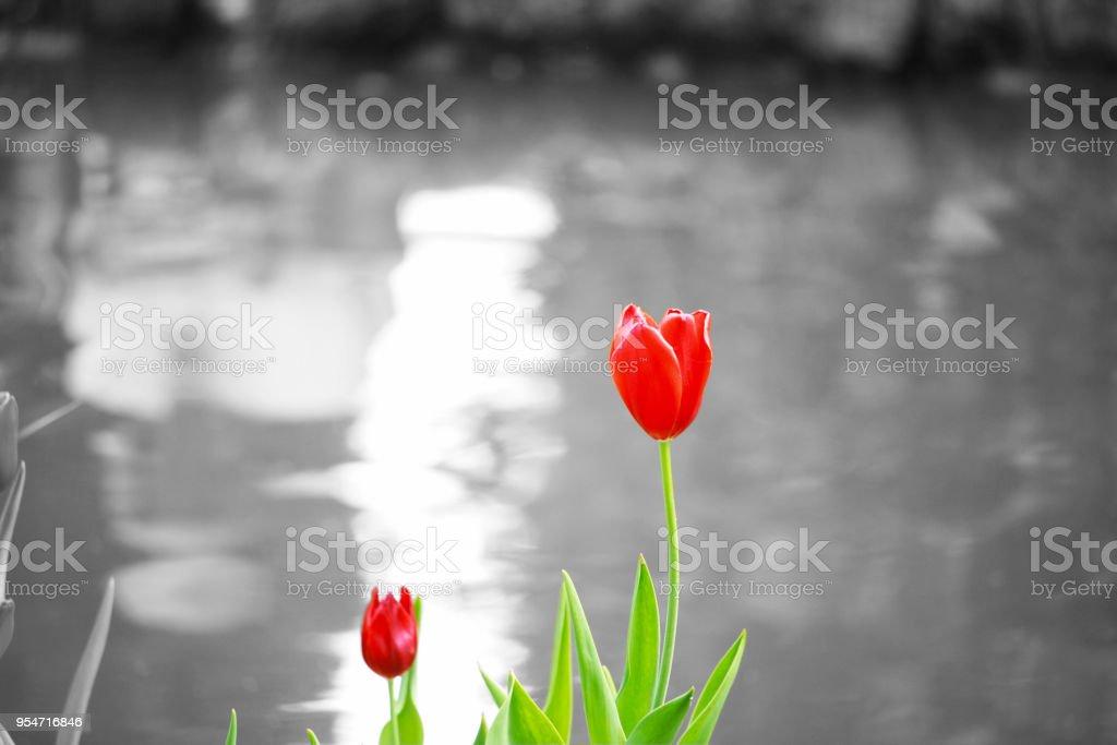 Tulipano Rosso Con Sfondo Bianco E Nero Stock Photo More Pictures