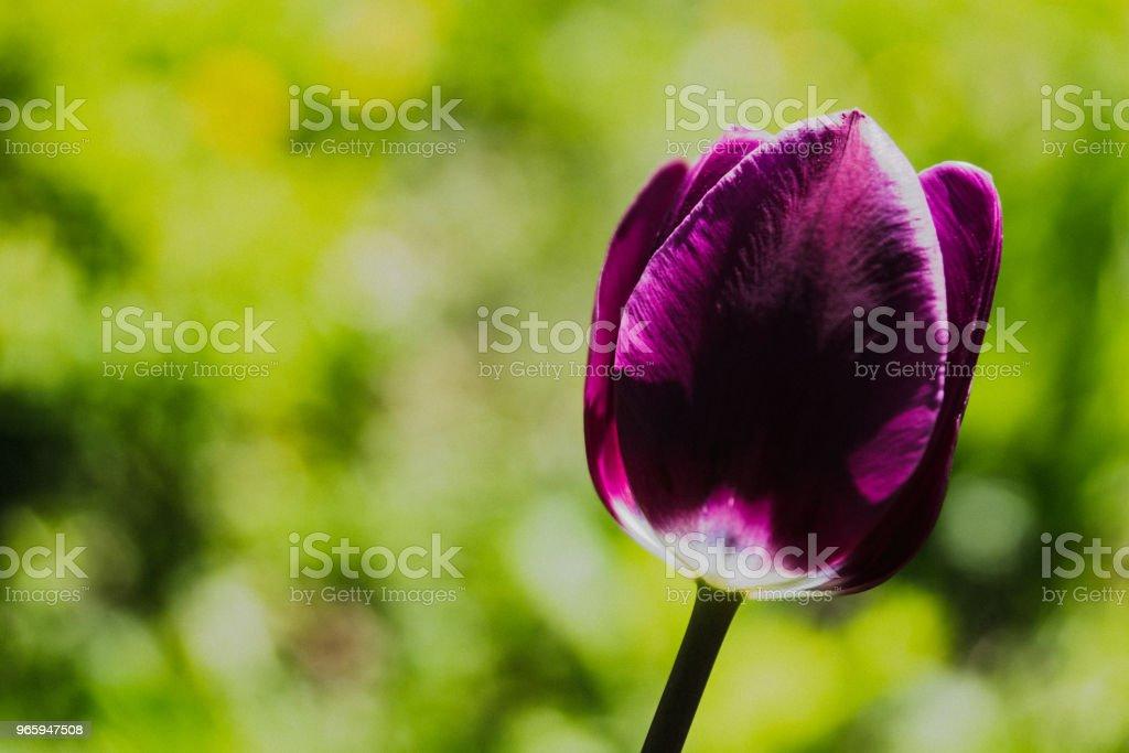 Tulipe mauve et blanche - Royalty-free Bloem - Plant Stockfoto