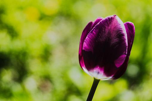 Tulipe Mauve Et Blanche Stockfoto en meer beelden van Bloem - Plant