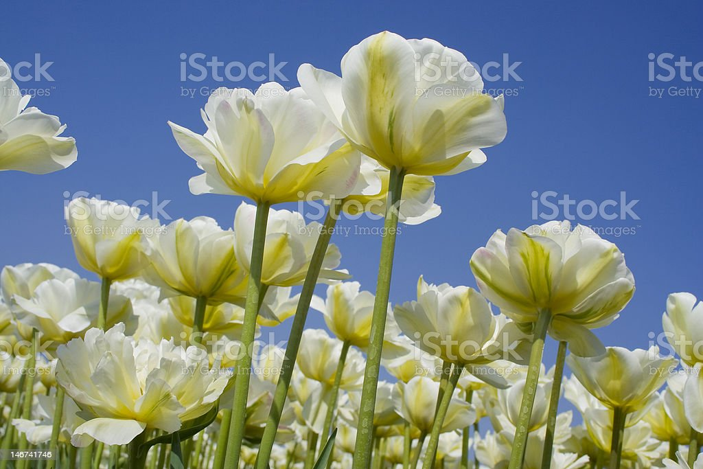 Tulipfields in the Netherlands stock photo