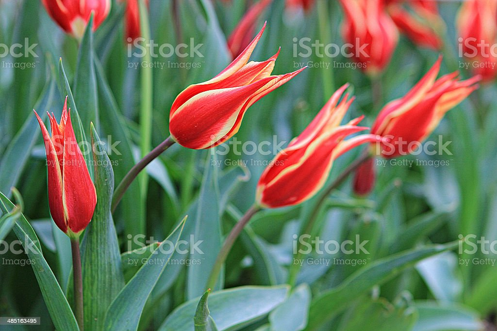 tulips 32 stock photo